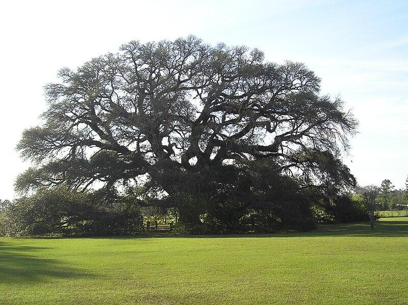File:Constitution Oak in Geneva, Alabama.jpg