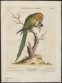 Conurus pertinax - - Print - Iconographia Zoologica - Special Collections University of Amsterdam - UBA01 IZ18500159.tif