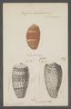 Conus bullatus - - Print - Iconographia Zoologica - Special Collections University of Amsterdam - UBAINV0274 085 10 0076.tif