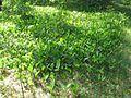 Convallaria majalis 6014.jpg