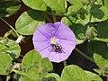 Convolvulus sabatius met insect.JPG