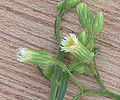 Conyza canadensis flowers, Canadese fijnstraal.jpg