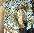 Coopers hawk immature.jpg