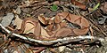 Copperhead (Agkistrodon contortrix) photographed in Liberty Co., Texas. W. L. Farr.jpg
