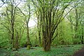 Coppiced tree, South Wood - geograph.org.uk - 1875694.jpg