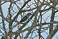 Coracias spatulatus, southern Mozambique 2.jpg