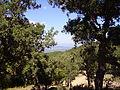 Cork oaks - Les Maures.JPG