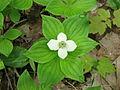Cornus canadensis 5-eheep (5097829110).jpg