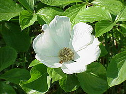 Cornus nuttallii1
