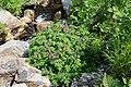 Corydalis multiflora (Fumariaceae) (36017620252).jpg