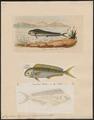 Coryphaena hippurus - 1700-1880 - Print - Iconographia Zoologica - Special Collections University of Amsterdam - UBA01 IZ13500306.tif