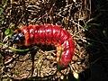 Cossus cossus larvae croatia.JPG