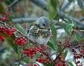 Cotoneaster frigidus Turdus pilaris 1.jpg