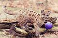 Cougar Kitten Chasing a Ball (17996840759).jpg