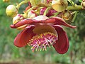 Couroupita guianensis - Cannon Ball Tree at Peravoor (14).jpg