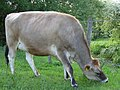 Cow - geograph.org.uk - 175446.jpg