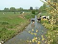 Cows drinking from a drainage ditch - geograph.org.uk - 419313.jpg
