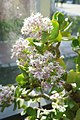 Crassula arborescens subsp. undulatifolia-Jardin botanique de Berlin (4).jpg