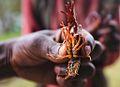Crayfish, Lake Bunyonyi, Uganda (15277663917).jpg