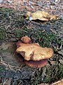 Crepidotus mollis 109819384.jpg