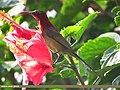 Crimson Sunbird (Aethopyga siparaja) (15706005428).jpg