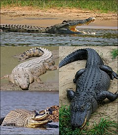 Crocodilia collage2.jpg