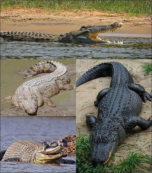 Crocodilia collage2