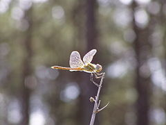 Crocothemis erythraea f woods.jpg