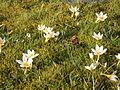 Crocus sieberi Bowles White group.JPG