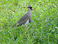 Crowned Lapwing (Vanellus coronatus) (13645228063).jpg