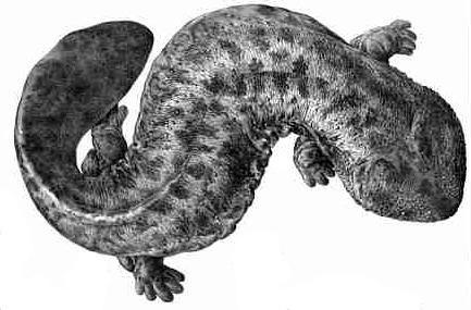 Cryptobranchus japonicus