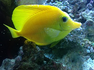 Cryptocaryon - Yellow tang with white spots characteristic of marine ich