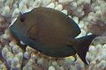 Ctenochaetus striatus, Fiyi.jpg