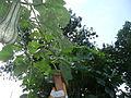 """Cucurbita maxima """"zapallo plomo"""" (Costanzi temp2) hábito del tallo y Cucurbita argyrosperma """"calabaza rayada o cordobesa"""" (Florensa) hábito del tallo - hojas con oidio a la izq CaF05 20160304.JPG"""