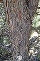 Cupressus nevadensis Hobo Ridge Grove (51) - Flickr - theforestprimeval.jpg