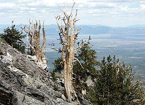 Currant Mountain Wilderness - ''Pinus longaeva'' - Great Basin Bristlecone Pines in the Currant Mountain Wilderness Area