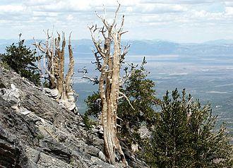 White Pine Range - Ancient Bristlecone Pines below Currant Mountain