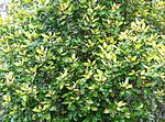 Curtisia dentata - Assegai tree - hedge screen 8.JPG