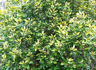 Curtisia - Image: Curtisia dentata Assegai tree hedge screen 8