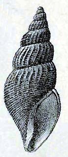 <i>Curtitoma conoidea</i> species of mollusc