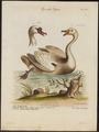 Cygnus cygnus - 1700-1880 - Print - Iconographia Zoologica - Special Collections University of Amsterdam - UBA01 IZ17600235.tif