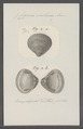 Cyrena violacea - - Print - Iconographia Zoologica - Special Collections University of Amsterdam - UBAINV0274 078 05 0003.tif