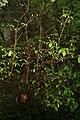 Cyrilla racemiflora 10zz.jpg