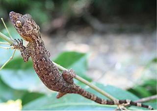 <i>Cyrtodactylus philippinicus</i> species of reptile