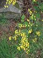 Cytisus scoparius02.jpg