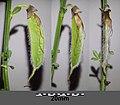 Cytisus scoparius (subsp. scoparius) sl12.jpg