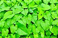D85 6013 Plant of Thailand Photographed by Trisorn Triboon 02.jpg