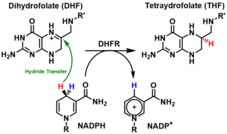 Dihydrofolate reductase - The reduction of dihydrofolate to tetrahydrofolate catalyzed by DHFR.