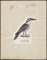 Dacelo gigas - 1700-1880 - Print - Iconographia Zoologica - Special Collections University of Amsterdam - UBA01 IZ16800179.tif