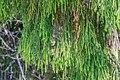 Dacrydium cupressinum near Okarito Lagoon 01.jpg